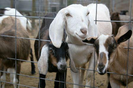 Billy Goats on a Farm Stock Photo - 395743