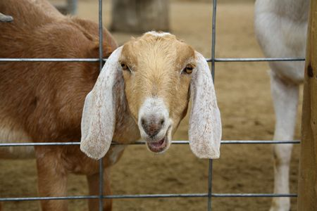 billygoat: Lone Billy Goat Wanting Attention Stock Photo