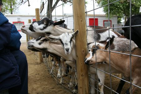 Goats Poking Heads Through Fenc photo