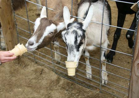 Goats Eating Pellets Out of Ice Cream Cones Stock Photo - 395735