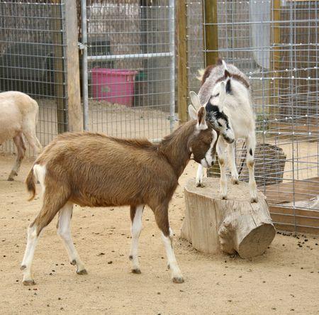 billy: Billy Goats Ramming Horns