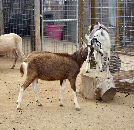 Goats Playfully Ramming Heads Stock Photo - 395733
