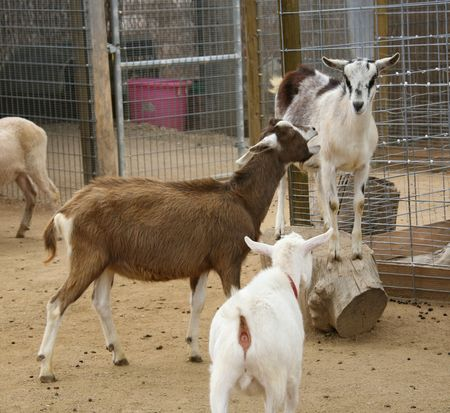 Goat Yelling at Another Goat Stock Photo - 395716