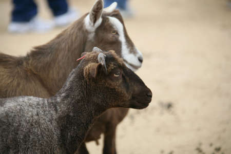 Two Goats on A Ranch Stock Photo - 395717