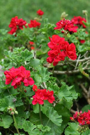 Red Garden Geraniums With High DOF photo