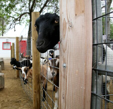 billygoat: Nosy Goat Looking Through Fence Stock Photo