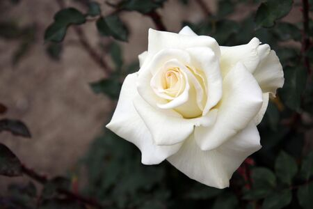 Isolated White Rose With High DOF Stock Photo
