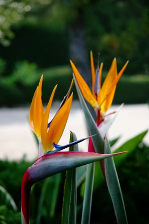 Bird Of Paradise flowers Zdjęcie Seryjne