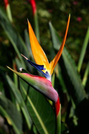 Bird of Paradise Flower With High DOF photo