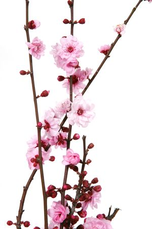 flor de cerezo: Flores florecientes de la cereza aisladas en blanco con el alto DOF