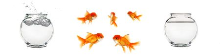 crowded space: Various Isolated Goldfish Elements to Create Your Own Concept Stock Photo