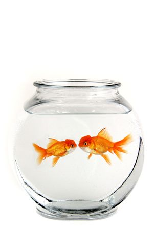 crowded space: Two Goldfish in a Bowl Kissing Stock Photo