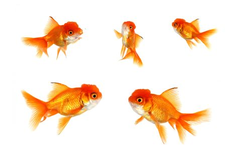 crowded space: Multiple Goldfish on White Isolated Stock Photo