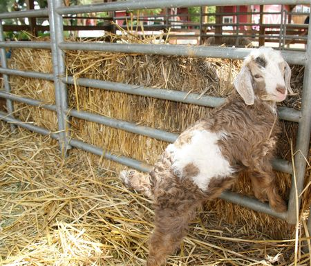 Adorable Curly Haired  Angora Lamb Stock Photo - 868591