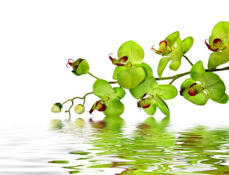 Elegant Green Orchid Resting Atop Water