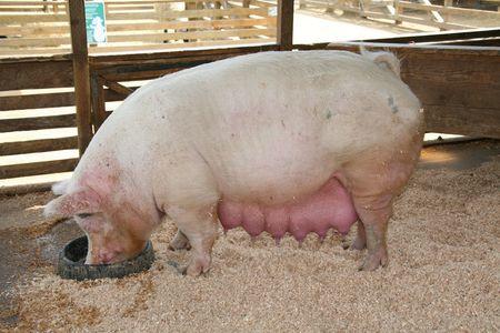 pezones: Muy embarazadas cerdo en la alimentaci�n de su pluma