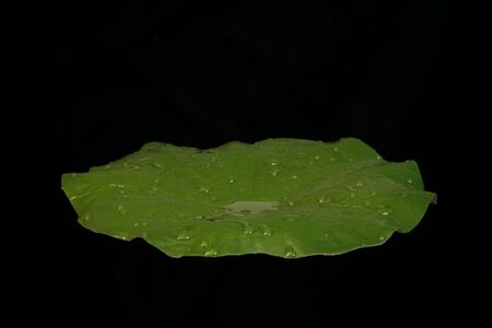 waterlillies: Single Isolated Water Lilly Pad on Black Stock Photo