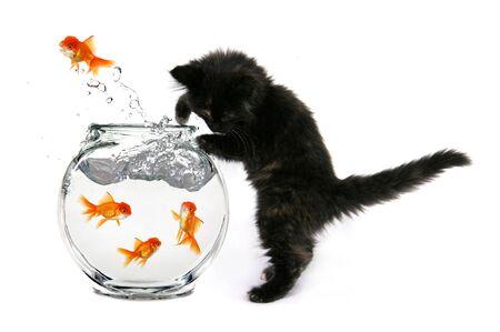 Humorous Kitten Trying to Catch Gold Vis in een kom
