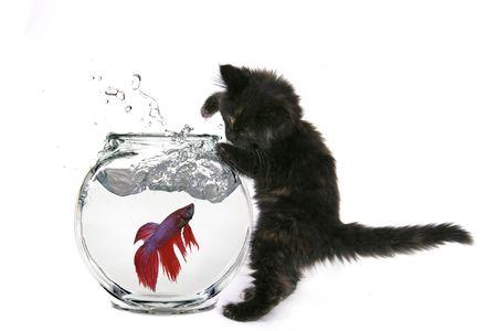 Black Cat Trying to Catch Beta Fish