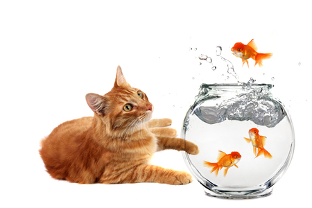Cat Relaxing and Watching a Gold Fish Escape His Bowl on White Background