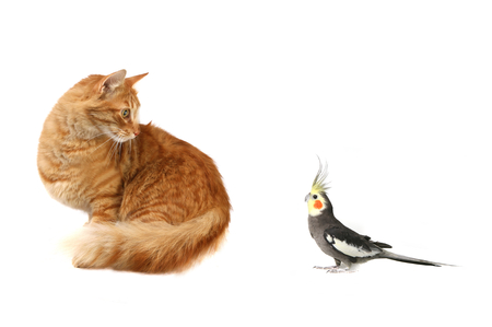 Surprised Cat Looking at Surprised Cockatiel Face to Face Stock Photo - 1582756