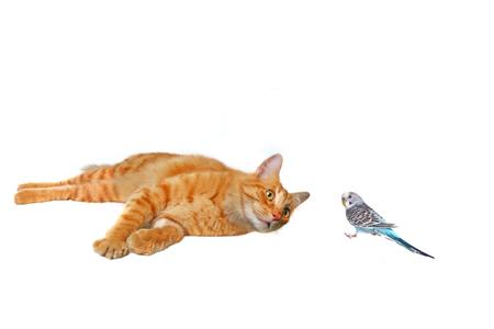 Cat Watching a Parakeet Friend Stock Photo - 1582743