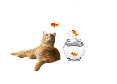subordinate: Funny Image of a Cat Watching Goldfish Escape Their Bowl Stock Photo
