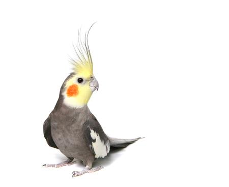 Grey Benieuwd Cockatiel Geïsoleerd op wit