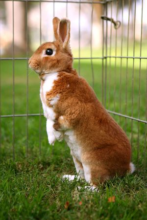 curiously: Brown Bunny Standing Curiously