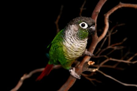 Green Cheek Conure in High Depth of Field on a Branch