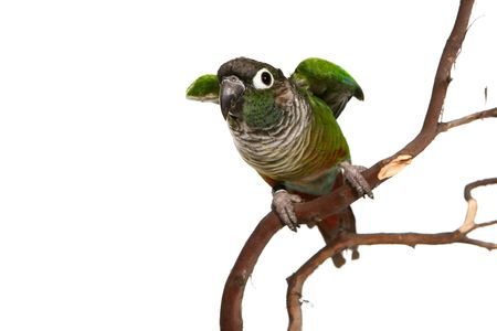 cheek to cheek: Green Cheek Conure On Branch Ready to Fly Away Stock Photo