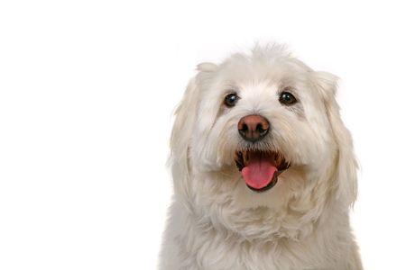 woeful: Happy Go Lucky White Dog Panting on White Background Stock Photo