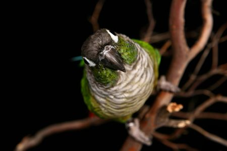 High DOF Image of Green Cheek Conure Looking Straight at the Camera
