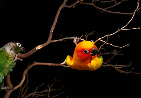 Two Conures Being Playful on a Branch