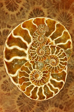 echinoderm: Striking Image of a Nautilus in Montage Art Form Stock Photo