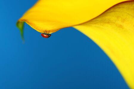 Ladybug Hanging By a Thread