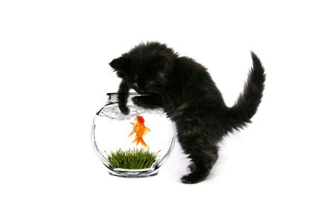 curiously: Black  Kitten Curiously Playing With a Goldfish in the Water Stock Photo