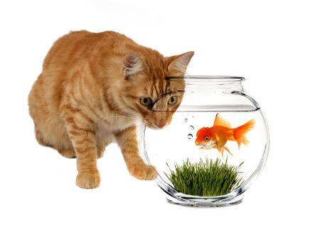 stalking: Orange Calico Cat Stalking a Goldfish in a Bowl