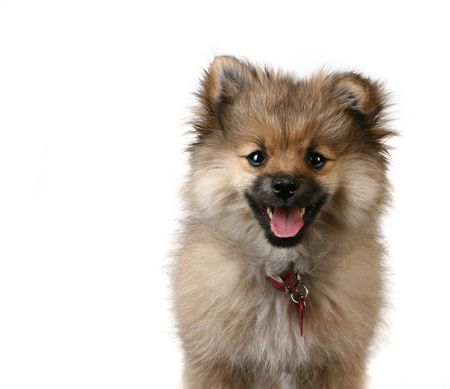 loveable: Tack Sharp Portrait of a Cute Pomeranian Puppy on White Background