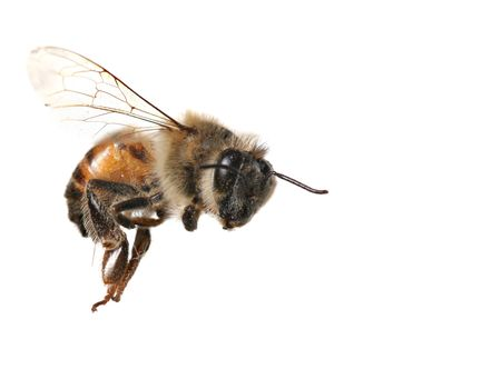 stinger: Macro Image of Common Honey Bee From North America Flying on White Background