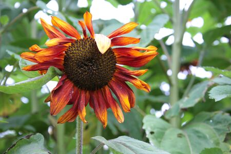 Sad Yet Beautiful Red and Orange Sunflower Among Green Foliage photo