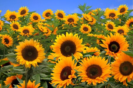 Field of Bright Happy Sunflowers Outside on a Sunny Day photo