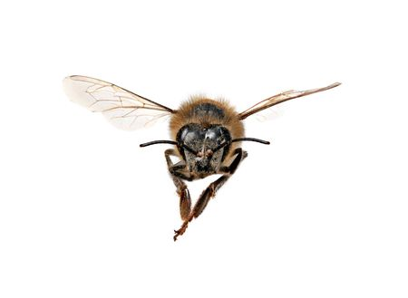 Honey Bee Looking Right At You With Extreme Detail on White Background Stock Photo - 3634212