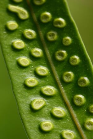 Macro Leaf Textured from Insect Egg Laying in the Tropics