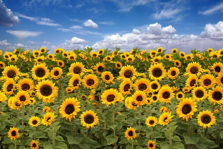 Farmland Field of Sunflowers With a Beautiful Sky Stock Photo - 3947385