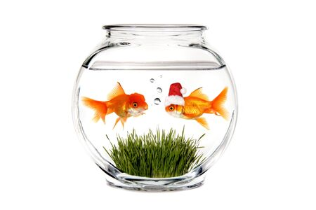 goldfish bowl: Goldfish Telling Santa What He Wants for Christmas in a Fish Bowl Stock Photo