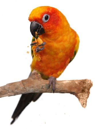 green parrot: Sun Conure Eating a Cracker Snack With Extreme Depth Of Field. Sharp Focus on the Eyes. Stock Photo
