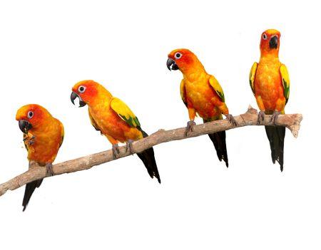 Multiple Sun Conure Parrots on a Perch on White Background Stock fotó