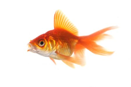 Goldfish Blowing out with High scherptediepte