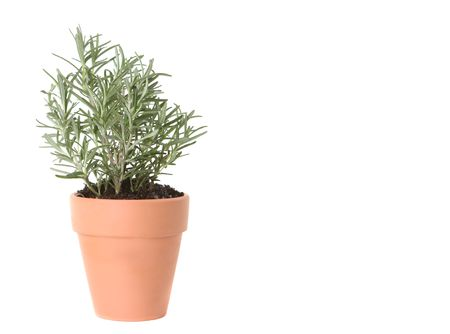 Rosemary Herb Planted in a Clay Pot on White Background With Copy Space for Text Stok Fotoğraf